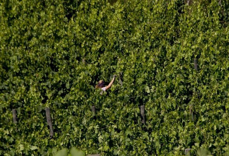 podere-albiano-raccolta-uve